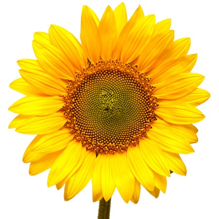 Foto de Sunflower isolated on white background - Imagen libre de derechos