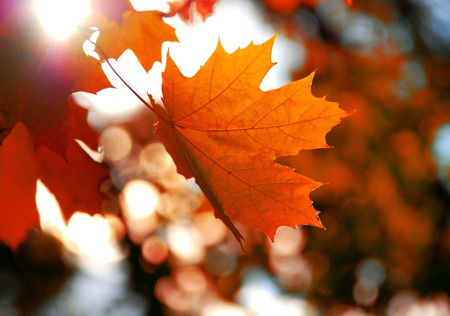 Photo pour Yellow maple leaf - image libre de droit
