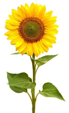 Photo pour Sunflower isolated on white background - image libre de droit