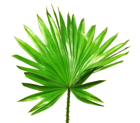 Photo pour Palm leaf isolated on white background - image libre de droit