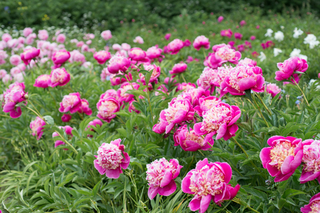 Photo for Flowers pink peonies in the garden - Royalty Free Image