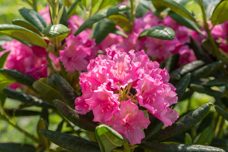 Photo pour Flower Pink Rhododendron closeup - image libre de droit