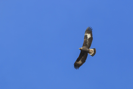 Photo for Golden Eagle (Aquila chrysaetos) flying over a mountain cliff in SiChuan, China - Royalty Free Image