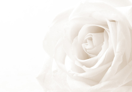 Foto de White rose close-up can use as background. Soft focus. In Sepia toned. Retro style - Imagen libre de derechos