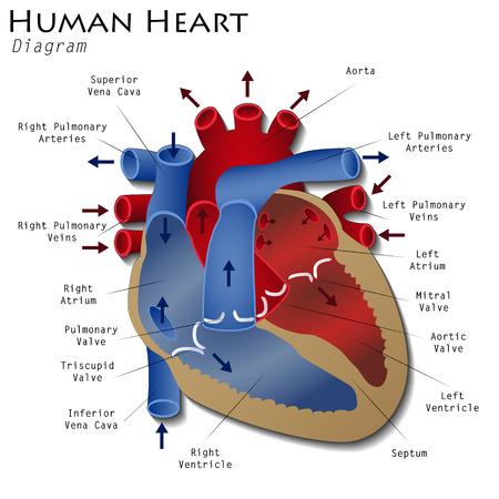 Illustration pour Human Heart Diagram - image libre de droit
