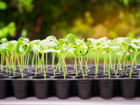 Photo pour Melon sprout growing up in seedling tray , agriculture planting concept. - image libre de droit