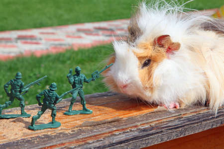 Guinea pig resists to toy soldier