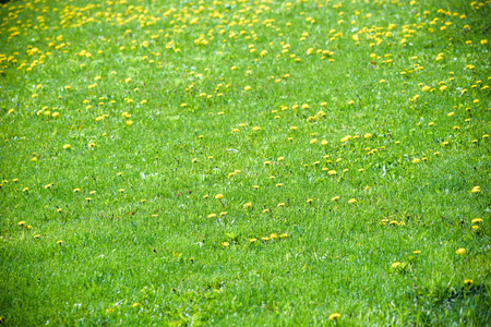 Photo pour spring landscape yellow dandelion flowers in the grass. - image libre de droit