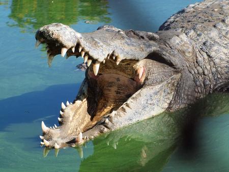 Crocodiles close up in Thailand