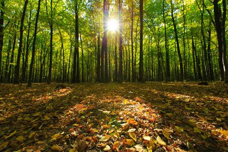 Photo pour forest trees. nature green wood backgrounds - image libre de droit
