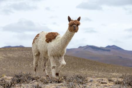Photo pour lamas in Andes,Mountains, Peru - image libre de droit