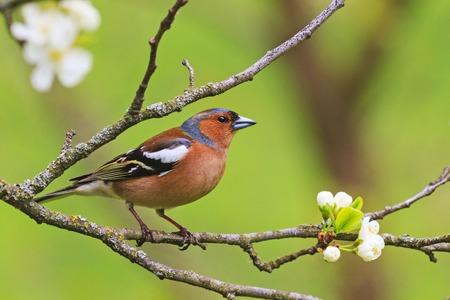 Photo pour colored songbird sitting on a branch of flowers - image libre de droit