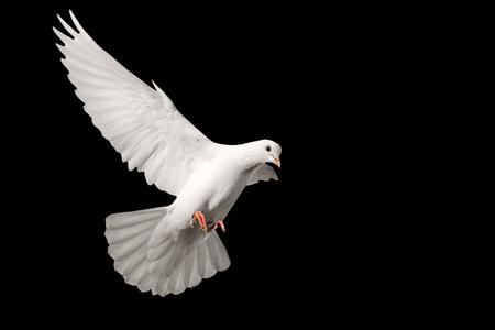 Foto de White pigeon flying isolated on black background , bird of peace, religious symbolism - Imagen libre de derechos