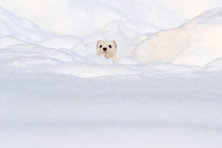 Photo pour white animal looks out of white snow, winter, animals - image libre de droit
