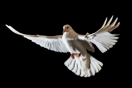 Photo for Christmas white bird flying on a black background, white dove, flight - Royalty Free Image
