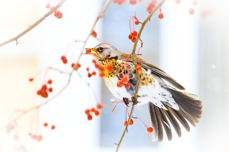 Photo for bird after your window eats red berries, winter period - Royalty Free Image
