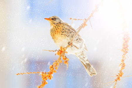 Photo for thrush on a winter snowy morning sits on yellow berries, winter period - Royalty Free Image