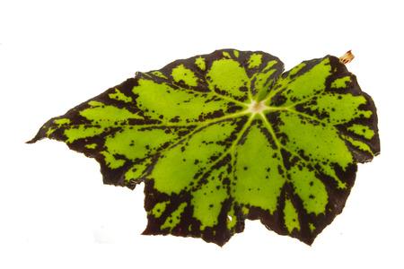 Photo for plant leaf isolated on white background - Royalty Free Image