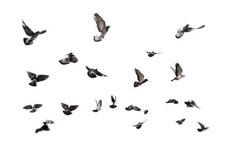 Foto de Pigeons flying. Many birds isolated on white background - Imagen libre de derechos