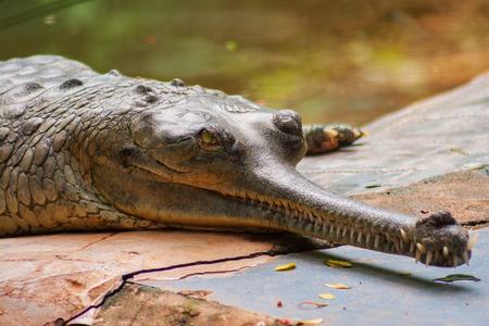 Photo pour Male Gharial  Crocodile crawling at Arignar Anna Zoological Park in Chennai, India - image libre de droit