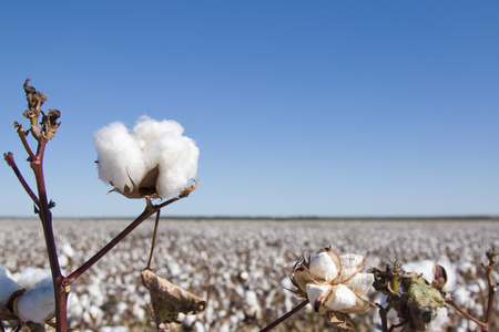Photo pour Field of Ripe Cotton Plants - image libre de droit