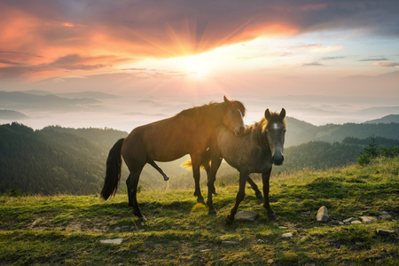 Photo pour Sunny morning and free beautiful strong horses make love and graze, give birth to foals on the summits among the wild Carpathian panoramas of Ukraine all summer and autumn - image libre de droit