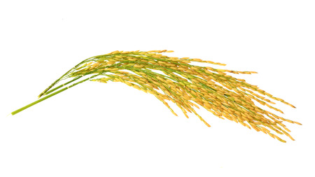 Foto de Paddy rice isolated on white background - Imagen libre de derechos