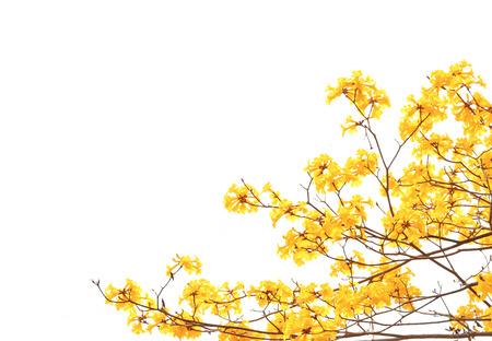Foto de yellow flowers bloom in spring isolated on white background - Imagen libre de derechos