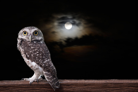 Photo for Owl stand on timber in the night under a full moon. - Royalty Free Image