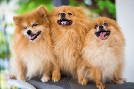 puppies of a Pomeranian