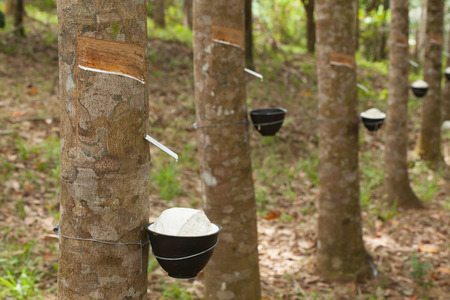 Photo pour Tapping latex from a rubber tree - image libre de droit
