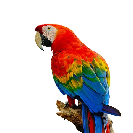 Photo pour Colorful Scarlet  Macaw aviary, sitting on the log, isolated on a white background - image libre de droit