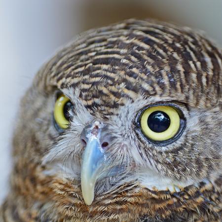 Brown bird, Asian Barred Owlet (Glaucidium cuculoides), face profile