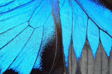 Photo for Blue butterfly wing, nature pattern texture background - Royalty Free Image