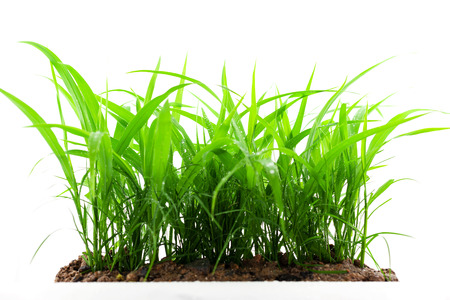 Photo pour green grass growing out of the ground, isolated on white background - image libre de droit