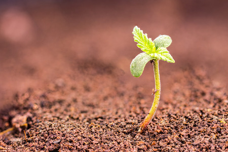 Photo pour Small cannabis (hemp, Cannabis sativa) sprout growing from soil - image libre de droit