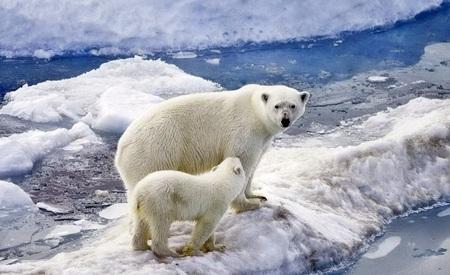 Foto de Polar bear with a cub on an ice floe - Imagen libre de derechos