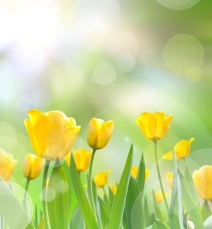 Photo for beautiful yellow tulips with light reflect in morning - Royalty Free Image