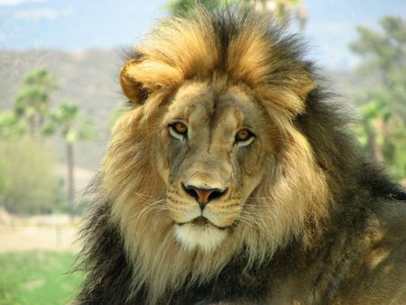 top of the food chain african animal cat mane male lion face