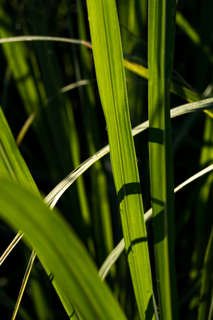 Photo pour Sugar Cane leaves with dew - image libre de droit