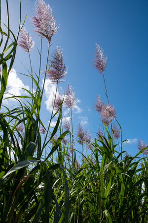 Photo pour Sugarcane with flower - image libre de droit