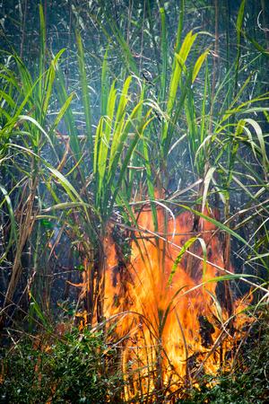 Photo pour Sugar Cane - Burning Sugar Cane Fields - image libre de droit