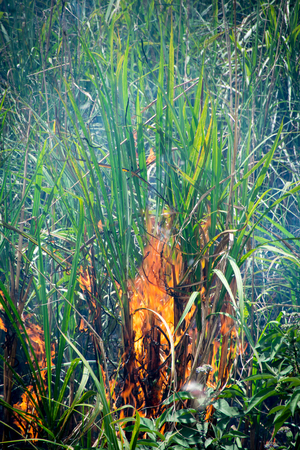 Photo pour Sugar Cane - Burning Sugar Cane Fields - image libre de droit