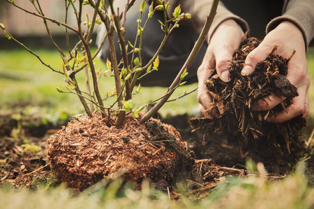 Photo for female gardener planting a blueberry bush, bark mulch in the hand - Royalty Free Image
