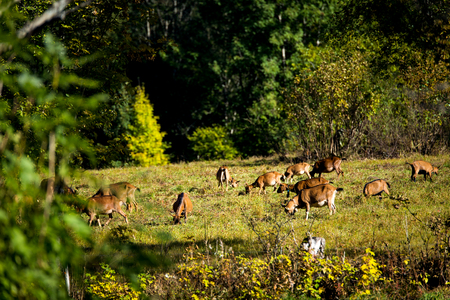a lots of goats on a pasture in the area of the black forest
