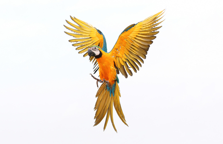 Foto per Colorful flying parrot isolated on white - Immagine Royalty Free