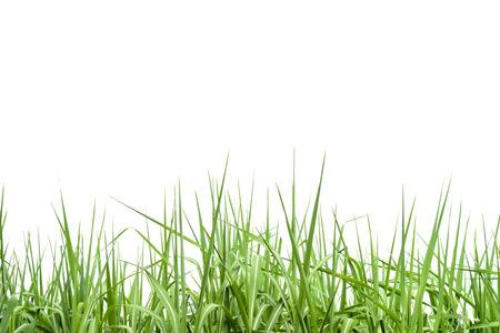 Photo for Sugar cane leaf on isolated white background - Royalty Free Image