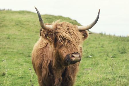 Foto de Scottish cow in green grass, - Imagen libre de derechos
