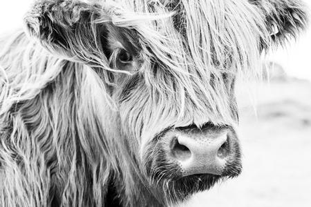 Photo pour Scottish cow in green grass, - image libre de droit