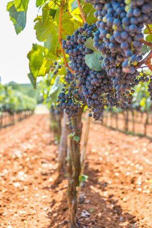 Photo for Ripe vine grapes on a farm in Croatia - Royalty Free Image